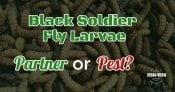 Black Soldier Fly Larvae: Pest or Partner?