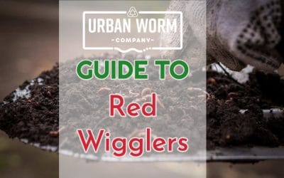Guide to Red Wiggler Composting Worms: Everything You Need to Know