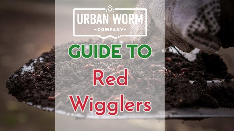 Red Wiggler Guide Featured Image