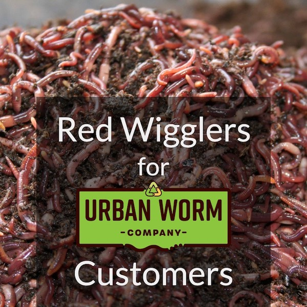 How many red wigglers do I need for my bin?